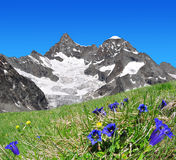 Beautiful mountain Gabelhorn. In the foreground blooming gentian - Switzerland royalty free stock images