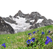 Beautiful mountain Gabelhorn , Switzerland. Beautiful mountain Gabelhorn in the foreground blooming gentian, Pennine Alps, Switzerland royalty free stock photo