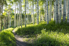 Beautiful Mountain Hiking Trail Through Aspen Trees of Vail Colorado stock image