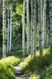 Beautiful Mountain Hiking Trail Through Aspen Trees of Vail Colorado. A beautiful summer hiking trail through Aspen Tree grove on Vail Colorado ski resort Royalty Free Stock Photos