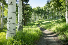 Beautiful Mountain Hiking Trail Through Aspen Trees of Vail Colorado. A beautiful summer hiking trail through Aspen Tree grove on Vail Colorado ski resort Royalty Free Stock Photos