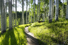 Beautiful Mountain Hiking Trail Through Aspen Trees of Vail Colorado. A beautiful summer hiking trail through Aspen Tree grove on Vail Colorado ski resort Stock Photo