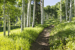 Beautiful Mountain Hiking Trail Through Aspen Trees of Vail Colorado. A beautiful summer hiking trail through Aspen Tree grove on Vail Colorado ski resort Stock Photos