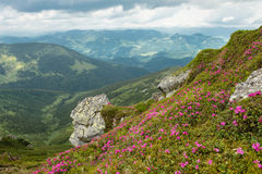 Beautiful mountain landscape with blooming pink rhododendron flo Stock Image