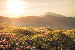 Beautiful mountain landscape with blooming pink rhododendron flo Stock Photo