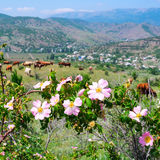 Beautiful mountain landscape with blooming wild roses and grazing cows in  distance . Royalty Free Stock Images