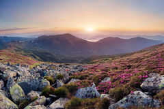 Beautiful mountain landscape with blossoming rhododendron flower Stock Photography
