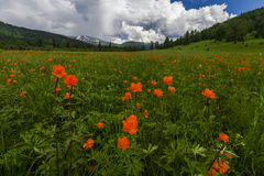 Beautiful mountain landscape with flowering field. Stock Image