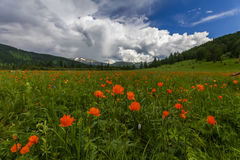 Beautiful mountain landscape with flowering field. Stock Photography