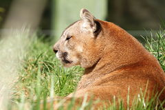 Beautiful mountain lion at the zoo Stock Photos