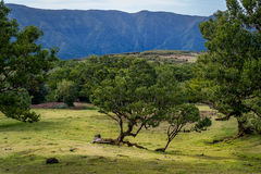 Free Beautiful Mountain Plateau With Fanal Old Forest, Madeira Island Landscapes Stock Photography - 72553472