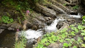 Beautiful mountain river with green vegetation and purple flower. Beautiful mountain river with small waterfalls flowing between rocky river banks, vibrant lush stock video