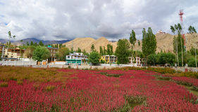 Beautiful mountains with flower field at Leh Stock Image
