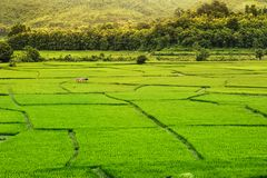 Beautiful green paddy field full of rice In the province of Nan It is beautiful, fresh in the rain season, tourist attraction in t. Beautiful mountains In the Royalty Free Stock Photo