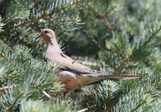 Beautiful Mourning dove in pine branches Stock Photography