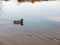 Beautiful moving male mallard on grey water surface close up. Essex; england; uk Stock Photo