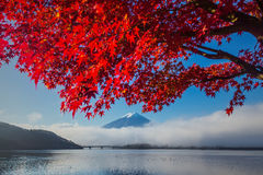 Beautiful Mt Fuji behind the maple tree Royalty Free Stock Photography