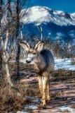 Beautiful Mule Buck Deer In Front of Pikes Peak royalty free stock images