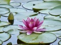 Beautiful Multi colorBeautiful lotus white color blossom in the water. BeautifulBeautiful lotus flower white color blossom in the water royalty free stock photos