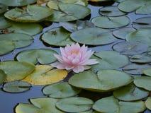 Beautiful Multi colorBeautiful lotus white color blossom in the water. BeautifulBeautiful lotus flower white color blossom in the water royalty free stock image