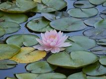 Beautiful Multi colorBeautiful lotus white color blossom in the water. BeautifulBeautiful lotus flower white color blossom in the water stock photo