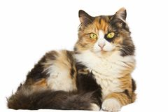A Beautiful Multi-colored Calico Cat royalty free stock photos