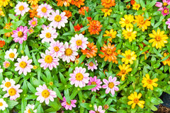 Beautiful multi-colored daisy flowers arranged in rows Royalty Free Stock Image