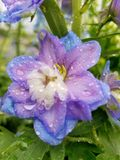 Beautiful multi-colored flower with raindrops. Beautiful multi-colored flower blooming in the spring after a rainstorm Royalty Free Stock Photography