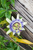 Beautiful multi-colored flower Passíflora Royalty Free Stock Photo