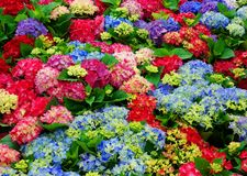 Beautiful multi-colored hydrangeas in a summer day royalty free stock photos