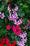 A beautiful multi-colored pelargonium on a flower bed stock photo