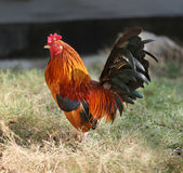 Beautiful multi-colored rooster Royalty Free Stock Photography