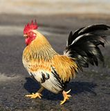 Beautiful multi-colored rooster Stock Photo