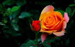 Beautiful multi colored rose Royalty Free Stock Photos