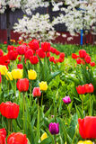 Beautiful multi-colored tulips. Colorful tulips blossoming in the spring in the Park Stock Photo