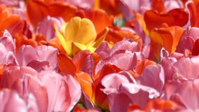 Beautiful Multi-Colored Tulips Swaying in the Wind. stock footage