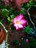 Beautiful multi colour flower. Beauty of the nature  royalty free stock photography