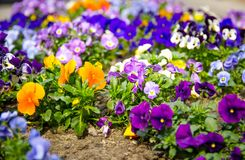 Beautiful multicolor pansy flowers or pansies plant with vivid f royalty free stock images