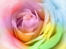 beautiful multicolor rose Stock Photo