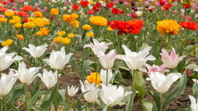 Beautiful multicolor tulips closeup. Slider footage. stock video