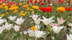 Beautiful multicolor tulips closeup. Slider footage. stock video footage