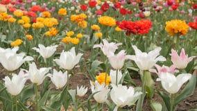 Beautiful multicolor tulips closeup. Slider footage. stock footage