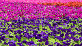 Beautiful multicolored carpet of flowers Royalty Free Stock Images