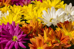 Beautiful multicolored chrysanthemum Stock Photography