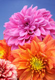 Beautiful Multicolored Dahlias Royalty Free Stock Images