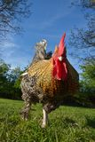 Beautiful  multicolored feathered rooster in a garden. Beautiful  multicoloured feathered rooster in a big garden Royalty Free Stock Image