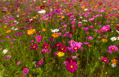 Beautiful multicolored flowers field, romantic flower background and wallpaper,. Enchanting and charming environment made of flowers using a palette of pastel royalty free stock photography