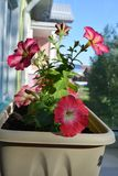 Beautiful multicolored petunias in flower pot would make your balcony a small urban garden.  royalty free stock images