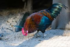 Beautiful multicolored rooster walks around the farm. Beautiful multicolored rooster walks around the farm royalty free stock images