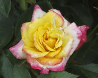 Beautiful Multicolored Rose in the Garden. Beautiful, perfect, rose basking in the sun Royalty Free Stock Photography